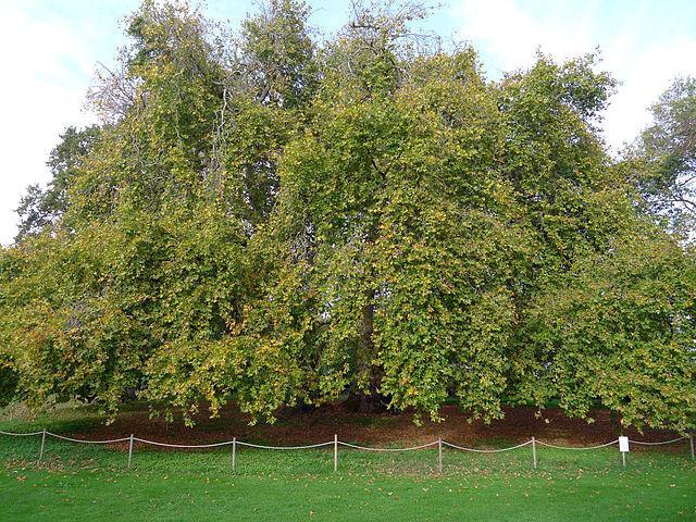 Platane d'Orient (Platanus orientalis): propriétés et utilisation de cet arbre en phytothérapie.