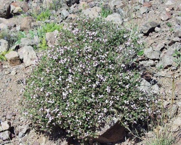Thym (Thymus vulgaris): bienfaits et effets secondaires de cette plante en phytothérapie.