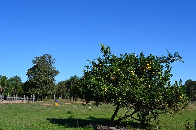 Citronnier et citron : vertus et bienfaits.