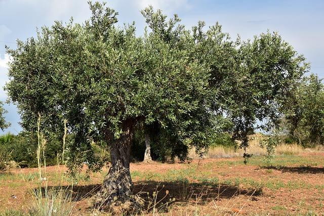 Olivier (Olea europea): bienfaits, propriétés et vertus de cet arbuste.