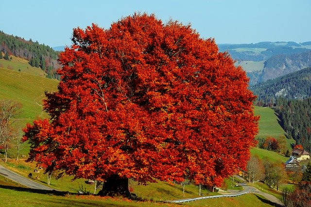 Hêtre commun (Fagus sylvatica): bienfaits et utilisation de cet arbre en phytothérapie.