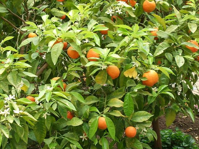 Bigaradier (Citrus aurantium): propriétés et vertus de cet arbre en phytothérapie.