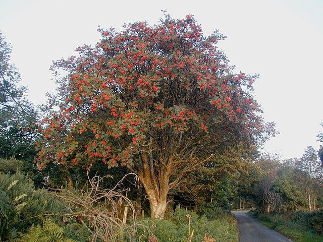 Sorbier (Sorbus aucuparia): bienfaits et utilisation de cet arbre en phytothérapie.