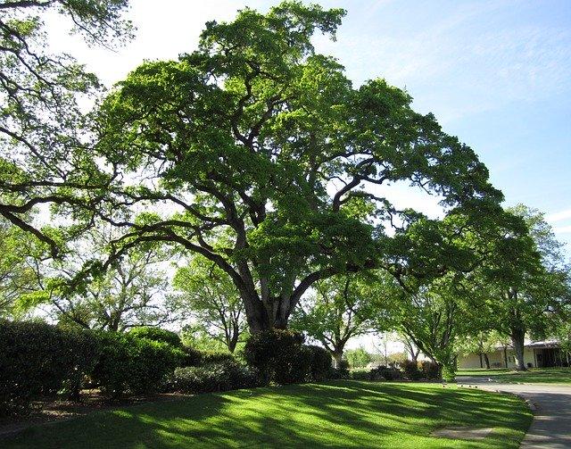 Chêne (Quercus robur): bienfaits et utilisation de cet arbre.
