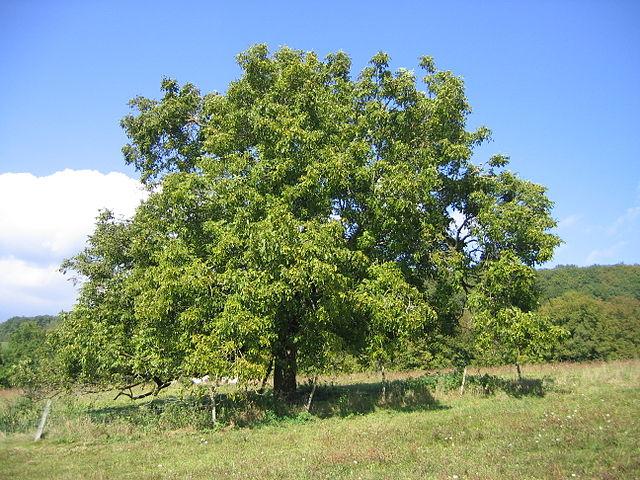Noyer commun (Juglans regia): propriétés et utilisation de cet arbre en phytothérapie.