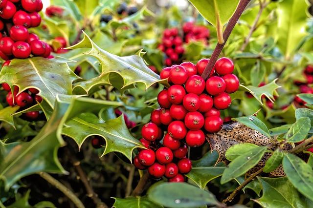 Houx (Ilex aquifolium): propriétés et utilisation de cet arbuste.