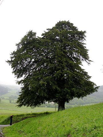 If commun (Taxus baccata): utilisation médicinale et toxicité de cet arbre.