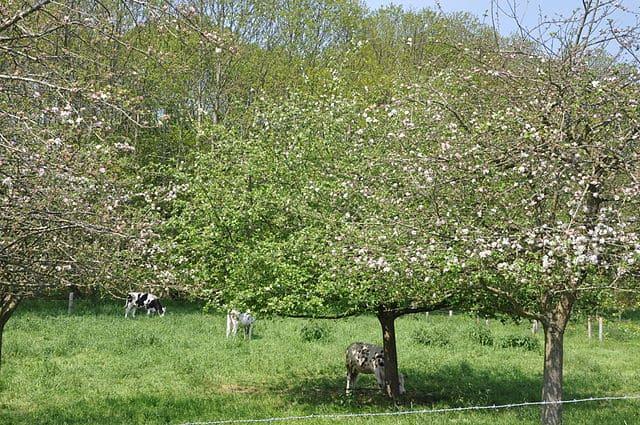 Pommier (Pyrus malus): bienfaits et vertus de cet arbre en phytothérapie.