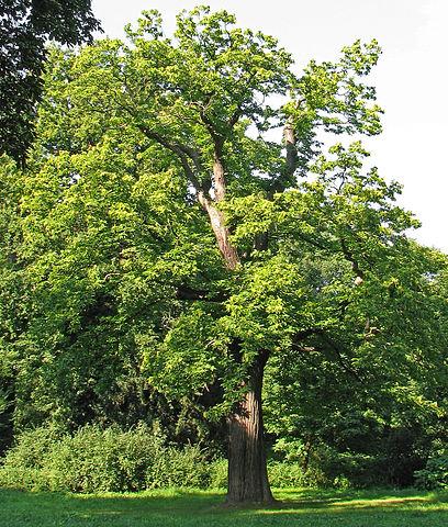 Châtaignier (Castanea sativa): propriétés médicinales et utilisation de cet arbre.