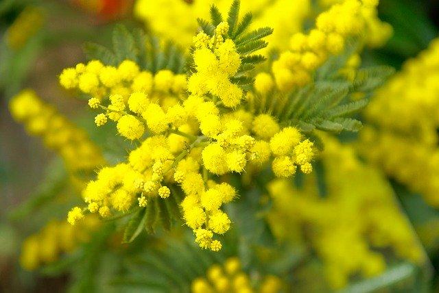 Mimosa: caractéristiques de l'élixir floral, réalisé par le laboratoire Deva.