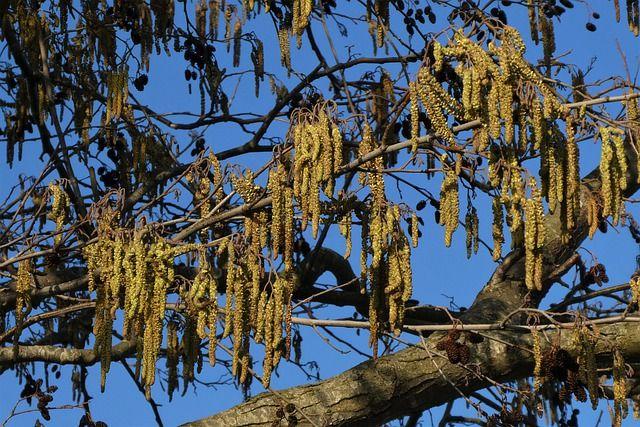 Noisetier commun (Corylus avellana): caractéristiques et utilisation de cet arbuste en phytothérapie.