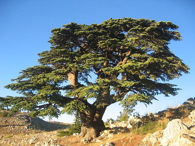 Cèdre du Liban (Cedrus libani): bienfaits et vertus de cet arbre.