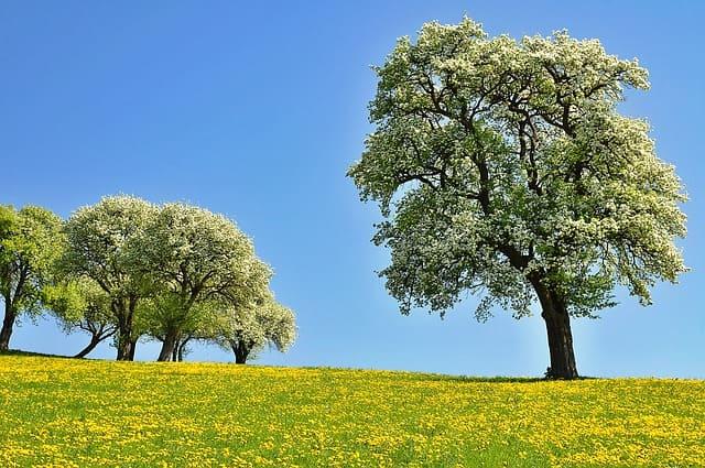 Poirier commun (Pyrus communis): bienfaits et utilisation de cet arbre en phytothérapie.