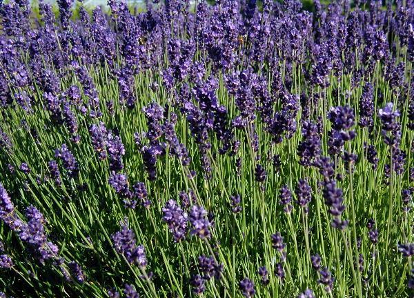 Lavande officinale (Lavandula angustifolia): vertus et propriétés de cette plante en phytothérapie.