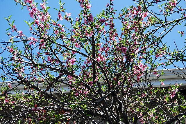 Pêcher en fleurs: bienfaits, vertus et utilisation de cet arbre en phytothérapie.