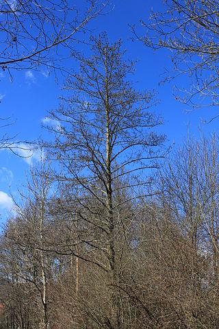 Aulne glutineux (Alnus glutinosa): propriétés médicinales et utilisation de cet arbre en phytothérapie.