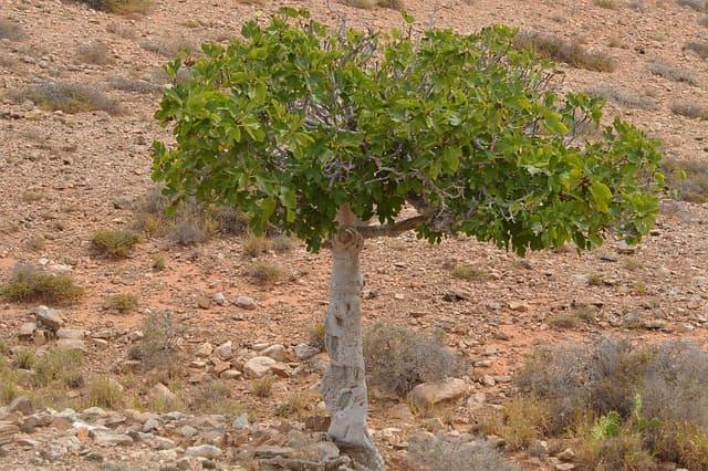 Figuier (Ficus carica): vertus et bienfaits de cet arbuste.