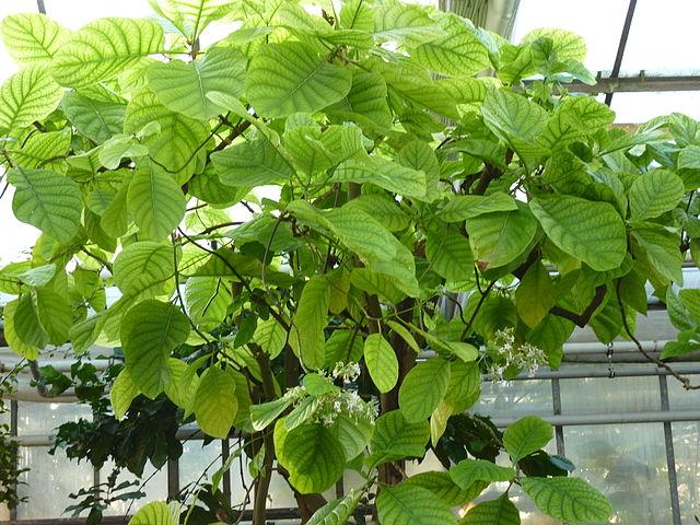 Quinquina (Cinchona officinalis): bienfaits et vertus de cet arbuste en phytothérapie.