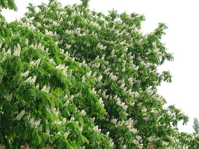 Marronnier d'Inde (Aesculus hippocastanum): bienfaits et vertus de cet arbre en phytothérapie.