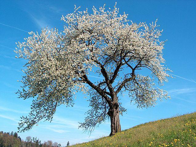 Cerisier (Prunus cerasus): bienfaits et utilisation de cet arbre en phytothérapie.