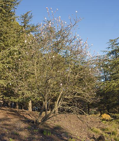 Prunier domestique (Prunus domestica): vertus et utilisation de cet arbre en phytothérapie.