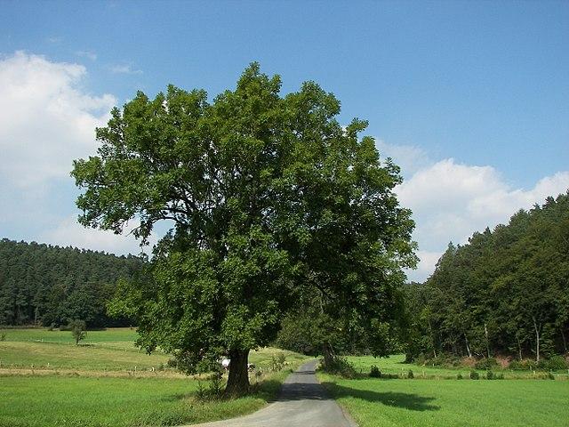 Frêne commun (Fraxinus excelsior): bienfaits et vertus de cet arbre.