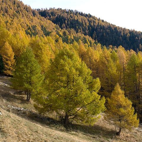 Mélèze (Larix decidua): propriétés et utilisation de cet arbre en phytothérapie.