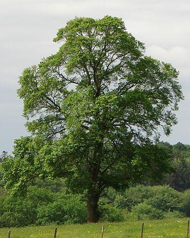 Orme champêtre (Ulmus campestris): utilisation et bienfaits de cet arbre en phytothérapie.