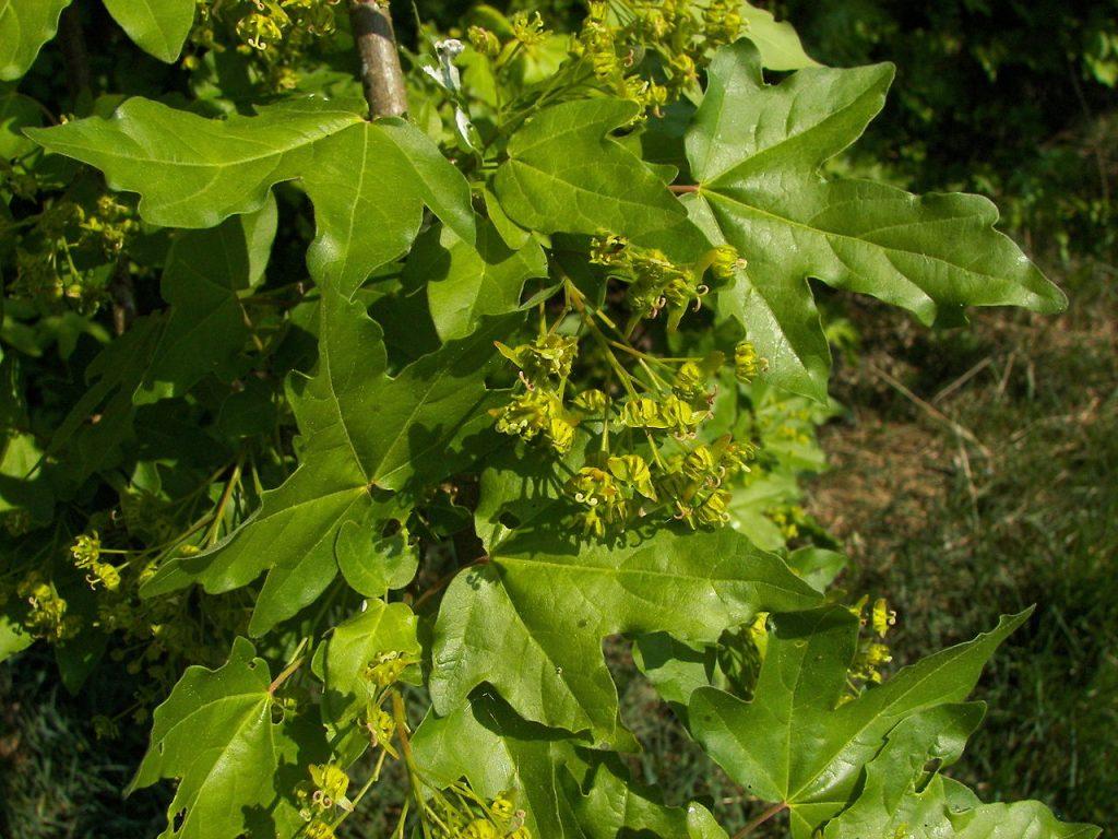 L'érable et son élixir floral, élaboré selon les recommandations du docteur Erdward Bach.