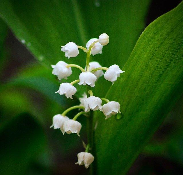 L'élixir floral de Muguet, élaboré selon les recommandations du docteur Erdward Bach.