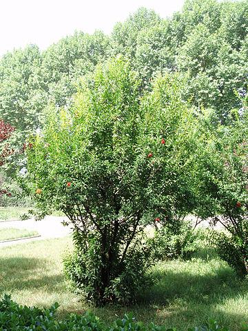Grenadier (Punica granatum): bienfaits et utilisation de cet arbre en phytothérapie.