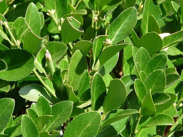 Laurier noble (Laurus nobilis): vertus et bienfaits de cet arbuste.