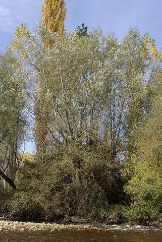 Saule blanc (Salix alba): bienfaits, vertus et posologie de cet arbre en phytothérapie.