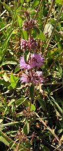 L'élixir floral de Menthe pouliot, élaboré selon les recommandations du docteur Erdward Bach.