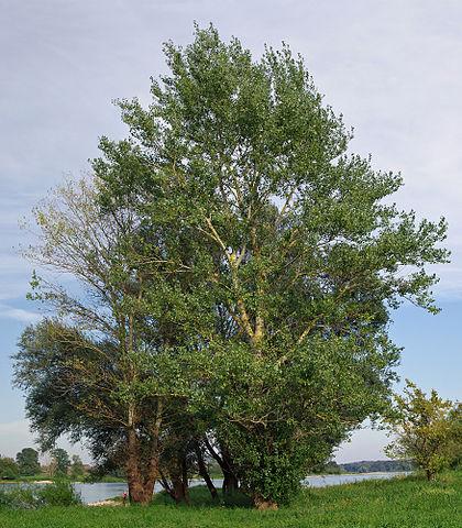 Peuplier noir (Populus nigra): propriétés et utilisation de cet arbre en phytothérapie.