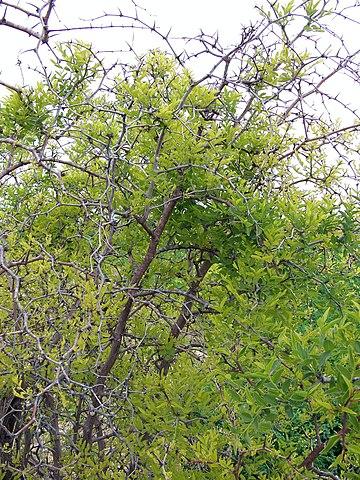 Jujubier (Zizyphus vulgaris): bienfaits et vertus de cet arbre.
