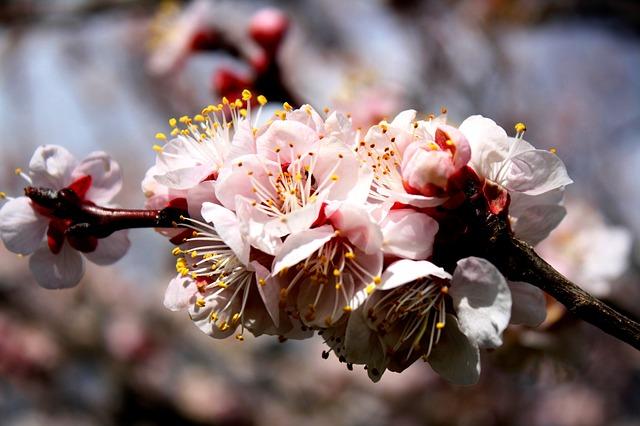 Abricotier: élixir floral élaboré selon les recommandations du docteur Erdward Bach.