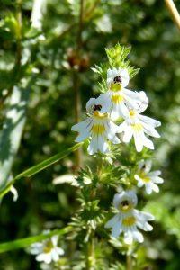 Euphraise: élixir floral d'Euphraise élaboré selon les recommandations du docteur Bach.