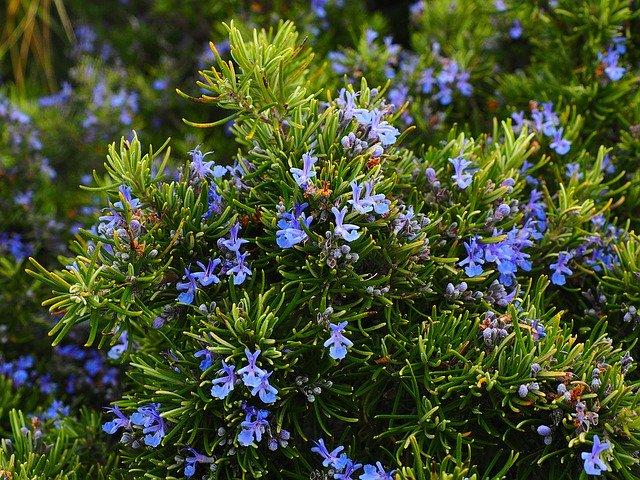 Romarin: élixir floral élaboré selon les recommandations du docteur Erdward Bach.