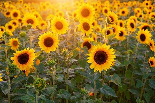 Tournesol: élixir floral, élaboré selon les recommandations du docteur Erdward Bach.