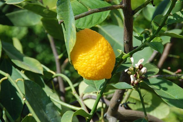 Citronnier: caractéristiques de l'élixir floral.