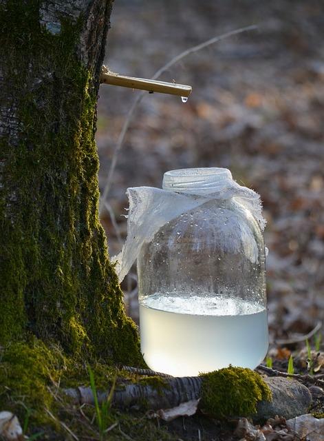 Récolte de la sève de bouleau: bienfaits et posologie de ce liquide.