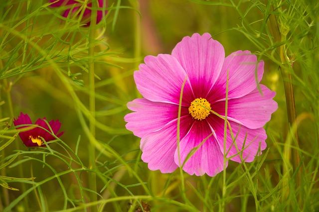Cosmos en fleur: élixir floral élaboré selon les recommandations du docteur Erdward Bach.