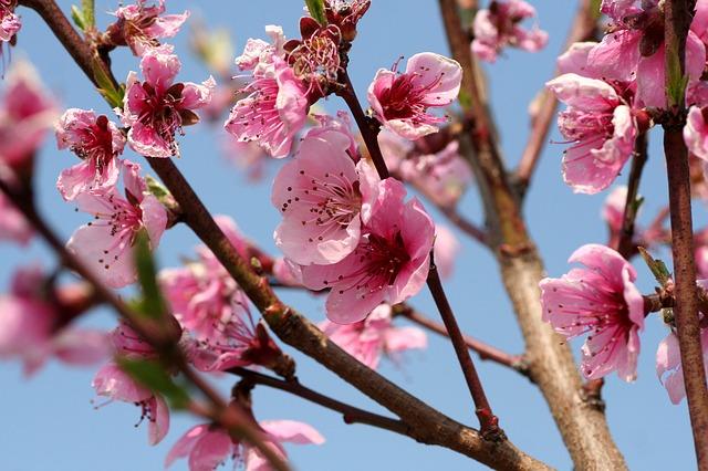 Pêcher: élixir floral élaboré selon les recommandations du docteur Erdward Bach.