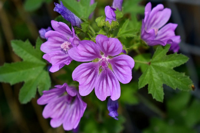 Mauve en fleur: élixir floral élaboré selon les recommandations du docteur Erdward Bach.