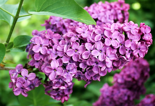Fleurs de lilas: élixir floral élaboré selon les recommandations du docteur Erdward Bach.