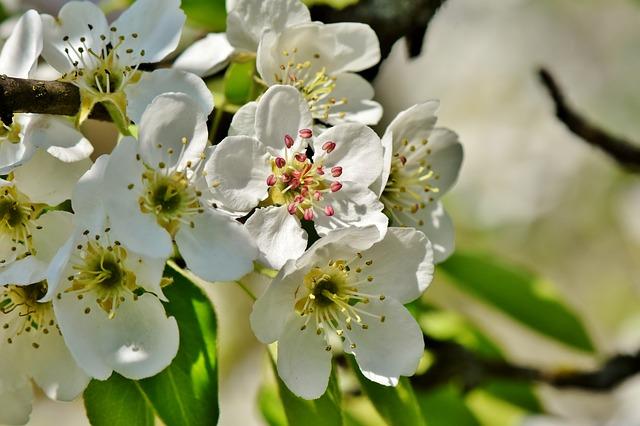 Fleurs de poirier: élixir floral élaboré selon les recommandations du docteur Erdward Bach.