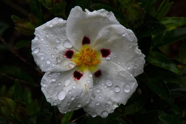 Ciste en fleur: bienfaits et contre-indications du pollen de ciste.