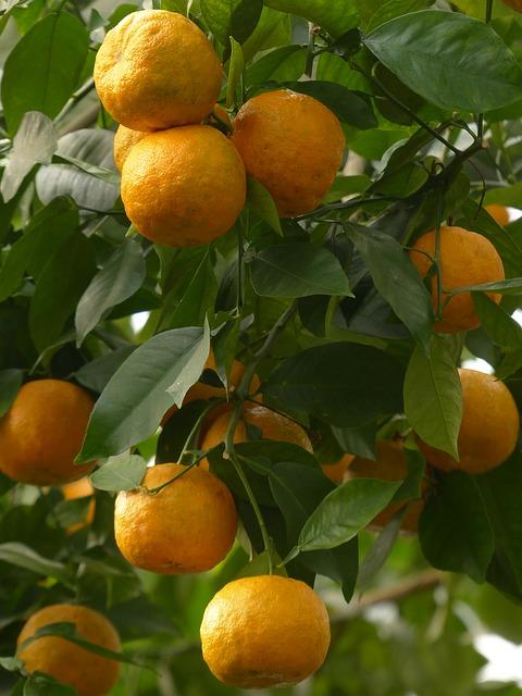 Oranges amer: l'huile essentielle de Petit Grain Bigarade est extraite des feuilles de l'orange.