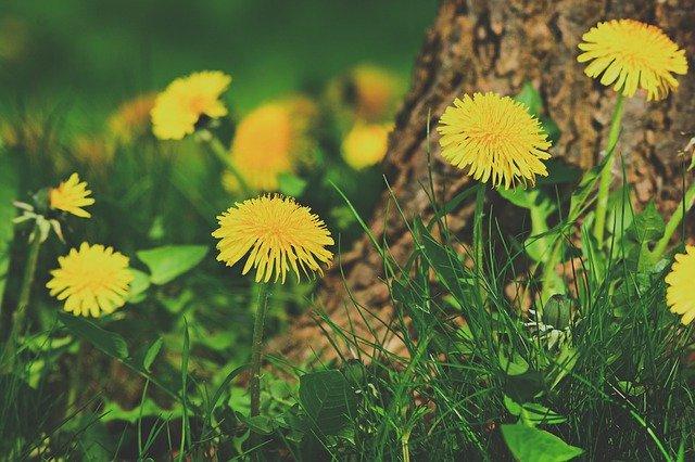 Pissenlit en fleur: élixir floral élaboré selon les recommandations du docteur Erdward Bach.